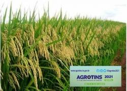 Potencial de expansão na produção de arroz no Tocantins é debatido durante a Agrotins 2021 100% Digital