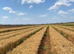 """Governo Bolsonaro faz com que Nordeste produza trigo pela 1ª vez e colheita é surpreendente: """"Superou até lavouras do Sul"""""""