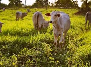 Rebanho bovino do TO tem alta de 7,6% e valor de produção da pecuária chega a R$ 825 milhões